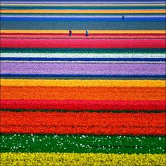 amazing!! tulip fields in the Netherlands
