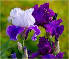 - Irises - -