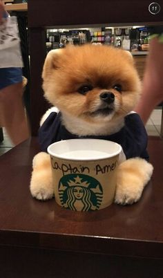 Jiffpom My Insta Tiny Puppies, Cute Dogs And Puppies, Baby Dogs, I Love Dogs, Cute Little Animals, Cute Funny Animals, Little Dogs, Spitz Pomeranian, Pomeranians