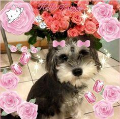 """""""とってもかわいいワンちゃんをキティちゃんのフレームとスタンプでガーリーにデコってさらにかわいさUP ♡ みんなのペットの写真もKawaii★Camにアップしてお友達とシェアしよう!  Look how cute this dog is! Decorate a picture of your lovely pet with Hello Kitty frame and stamps to make it even cuter!  Photo taken by princessitc on Kawaii★Cam  Join Kawaii★Cam now smile emoticon   For iOS: https://itunes.apple.com/jp/app/kawaii-xie-zhen-jia-gonghakawaiikamu*./id529446620?mt=8  For Android : https://play.google.com/store/apps/details?id=jp.co.aitia.whatifcamera"""