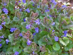 Hondsdraf - Glechoma hederacea, - voor in de berm Kew Gardens, What Are Weeds, Plant Texture, Planting For Kids, Edible Wild Plants, Plants Quotes, Gardens, Herbs