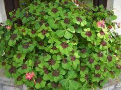 Az újévi szerencsét hozó növény titka! - Szépzöld Beautiful Gardens, Plants, Gardening, Flowers, Lawn And Garden, Plant, Planets, Horticulture