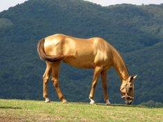 Gorgeous Akhal Teke. There are only 3,500 of these horses left in the entire world.