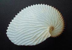 Paper Nautilus Seashell (Argonauta Argo)
