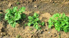 Πατάτα: σπορά φύτεμα καλλιέργεια