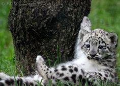 My favorite animal: A Snow Leopard.