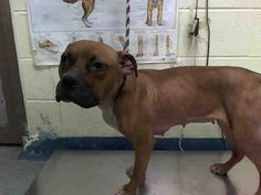 CHER PULLED BY AMSTERDOG ANIMAL RESCUE  0807/15 - TO BE DESTROYED - 08/07/15 - CHER - #A1045703 - Urgent Manhattan - FEMALE BROWN PIT BULL MIX, 1 Yr - STRAY - ONHOLDHERE HOLD FOR EVICTION - Reason OWN EVICT - Intake Date 07/28/15 - CAME IN WITH SONNY #A1045705 (NO PHOTO YET)