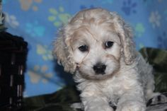 cockapoo puppies - here is a really nice cockapoo puppy for sale at http://www.network34.com/dogsbreed/cockapoo-puppies-for-sale-pa-md-ny-nj-dc/