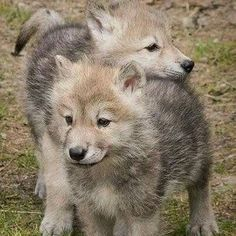Tribal Wolf, Wolf Quotes, Wolf Wallpaper, Wolf Love, Wolf Pictures, Beautiful Wolves, Anime Wolf, Doggies, Husky