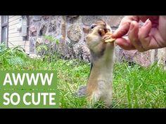 Cute Chipmunks Gather Food For Winter - Cheezburger
