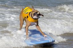 Cute Photos of Dogs Surfing