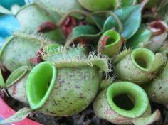 creepy plants | carnivorous plants Stock Photo - 4994540