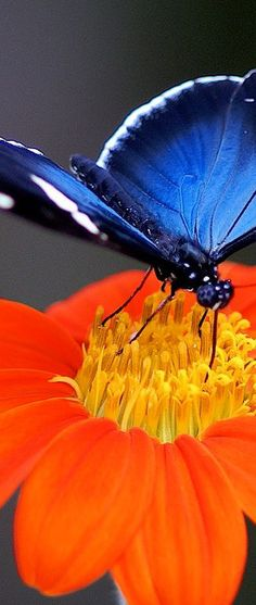 Orange/Blue Butterfly close up