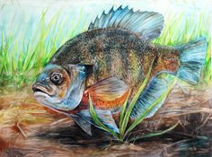 All of this wonderful artwork has already won Place in their state or country in Wildlife Forever s 2012 State Fish Art Contest This voting is Wildlife Paintings, Wildlife Art, Fish Paintings, Watercolor Animals, Watercolor Art, Bass Fishing Pictures, Fish Artwork, Kunst Poster, Zentangle