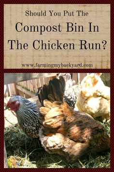 Compost Should You Put Your Compost Bin in the Chicken Run? - Farming My Backyard - Will chickens eating compost make them sick? Will it hurt or help the compost? Find out if a compost bin in the chicken run is right for you. Portable Chicken Coop, Backyard Chicken Coops, Backyard Farming, Chickens Backyard, Backyard Poultry, Chicken Eating, Chicken Runs, Farm Chicken, Chicken Cages