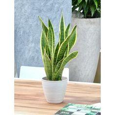 Slechte nachtrust? Deze 5 planten zorgen ervoor dat je beter slaapt - Alles om van je huis je Thuis te maken | HomeDeco.nl Cactus Plants, Home, Everything, Money, Cacti, Ad Home, Cactus, Homes