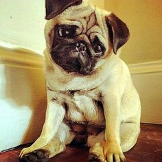 """""""Can I please have two dinners tonight?""""   www.jointhepugs.com   #pugpower #puglover #pugsnotdrugs #pugchat #cuteness #pugs #fawnpug"""