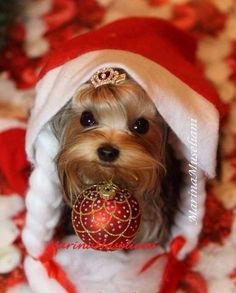Christmas: Yorkshire Pudding And Yorkie Dog ; Those Are The Things That Mean A Lot When Shared With The Dearest Friends You've Got. Yorkies, Yorkie Puppy, Chihuahua, Lab Puppies, Cute Puppies, Cute Dogs, Puppies Puppies, Christmas Animals, Christmas Dog