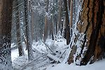 Old-growth pondierosa pine western larch forest in winter. Yaak Valley in the Purcell Mountain, northwest Montana