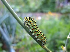 Old World Swallowtail (Papilio Machaon) Old World, Nature, The Great Outdoors, Mother Nature, Scenery, Natural