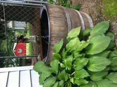 This is an old water hand pump that we turned into a fountain in a whiskey barrel. Goldfish Pond, Garden Art, Whiskey, Fountain, Barrel, Pump, Outdoors, Rustic, Water
