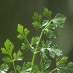 Főzelékek sűrítése, fűszerezése - változatok - Háztartás Ma Parsley, Herbs, Plants, Herb, Planters, Plant, Spice, Planting