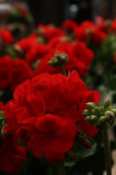 Geraniums love cool weather, making them perfect for your first container gardens of the year!