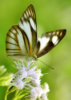 Pretty butterfly = white with black stripes and yellow tinges.