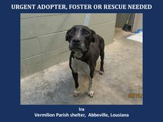 URGENT! WILL DIE 7/26/14! Ira is a female Pit Bull and is 2 yrs old and weighs 34.6 lbs. Take one look at that sweet, pleading face! She's begging someone to save her.This is a kill shetler in LA that doesn't allow public adoptions. Pets must be pulled by an approved rescue or can be adopted thru AAVA. TO ADOPT - fill out an app at http://animalaidvermilionarea.com/adoptions.php…
