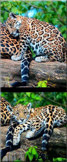 I love you, too, mom Baby jaguar (Panthera onca) #photos by NB-Photo on DeviantArt #animal panther puma big cat nature pet wildness wildlife