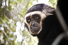Gilbert, the pileated gibbon rescued from the Bangkok floating market, at the WFFT Rescue Center