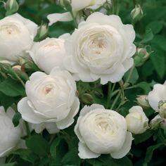 クレア・オースチン - Claire Austin (Ausprior) 白いバラというのは、どことなく特別な感じがします~きっと純粋さと輝きのせいでしょう。淡いレモン色のつぼみが開くと、カップ咲きになります。典型的なイングリッシュムスクと言える繊細さを持った、クリーミーホワイトの大輪へと開いていきます。花びらは円状に美しく並び、中心部は少しくずれた感じです。 #バラ #イングリッシュローズ #園芸 #ガーデニング #花