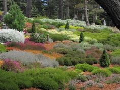 heather garden on the coast with ornamental grasses, lavender and conifers