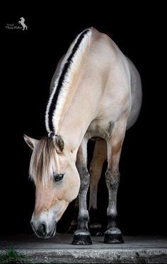 Cute Horses, Pretty Horses, Beautiful Horses, Fjord Horse, Horse Breeds, Equestrian, Pets, Drawings, Horses