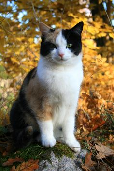 Of all the different varieties of cat, Calico cats are some of the most popular around the world. Pretty Cats, Beautiful Cats, Animals Beautiful, Cute Animals, Pretty Kitty, I Love Cats, Crazy Cats, Cool Cats, Warrior Cats
