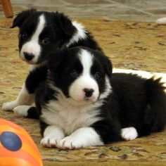 Who would want a border collie?!
