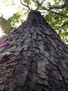 A grande árvore no Horto florestal do Catetinho, primeira residência do Presidente da República em Brasília.  Dedé de Zé Luca