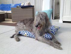Deerhound x Greyhound lurcher loving the home comforts