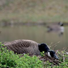 Mama Goose hanging out at her home at our pond. Romantic getaways should include a little nature.