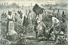 circa Slaves picking cotton on a plantation. (Photo by Hulton Archive/Getty Images) Picking Cotton, Cotton Plantations, Texas History, History Teachers, History Education, Black Books, Down South, African American History, American Revolution