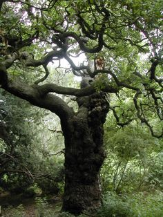 "The Great Oak in Sherwood Forest. In popular culture, Robin Hood and his band of ""merry men"" are usually portrayed as living in Sherwood Forest, in Nottinghamshire, where much of the action in the early ballads takes place. So does the very first recorded Robin Hood rhyme, four lines from the early 15th century, beginning: ""Robyn hode in scherewode stod."""