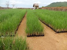 The miracle and the power of Vetiver Grass are their roots.