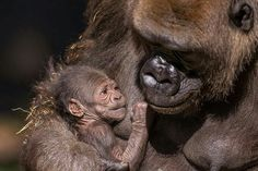 It's a girl! San Diego Zoo is celebrating the birth of a baby gorilla. The yet-to-be-named female baby gorilla, weighing around four pounds, was born to mother Kokomo and father Winston on Wednesday. Kokomo and the baby appear to be in good health.