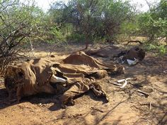 poached-carcasses elephants are endangered by who - humans - at leasst 100000 elephants were killed in the last 3 years Adoption Information, Scientific American, Stop Animal Cruelty, Vertebrates, African Elephant, Endangered Species, Savannah Chat, Lion Sculpture, Environment