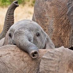 I can't handle the cuteness of baby elephants, what a fun and wonderful animals!