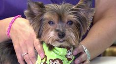 (CNN) -- A 10-year-old Yorkshire Terrier has turned up in Indianapolis -- six years after he disappeared from his home in Austin, Texas! If little Bailey has learned anything over the past six year...