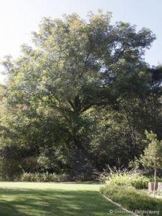 Cape Ash - Good for sidewalks - grows fast Ekebergia_capensis Love Garden, Shade Garden, Jade Vine, African Tree, Crocosmia, 10 Tree, Clematis Vine, Black Tulips, Natural Salt
