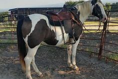 """""""Magic"""" is an 8 year old 14.3 hand good looking, super gentle black and white paint ranch gelding. This horse comes from a large working ranch in Kansas.  This is a nice horse that can be ridden on the trails, in the pasture, and in the pens."""