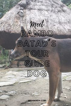 If you're staying at Ramon's Homestay in Batad, you'd get a chance to meet Rambo and the other tour guide dogs. You might even get lucky if the dogs decide to join (lead) your tour around the rice terraces. Jeepney, Rice Terraces, Guide Dog, Small Puppies, Tourist Spots, 10 Year Old, Dog Walking, Tour Guide