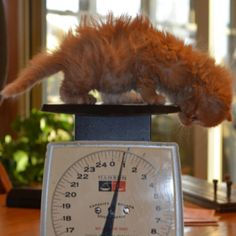 The Littlest Pumpkin.   A friend's kitten (found at approximately four weeks of age) was found in a barn after the mother abandoned the litter. The other three litter-mates did not survive. This is fiery and feisty Pumpkin at ~ 6 weeks of age.